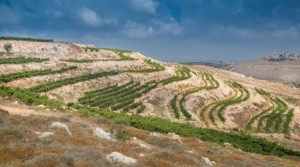 Après 2000 ans, nouvelles vignes juives de Samarie